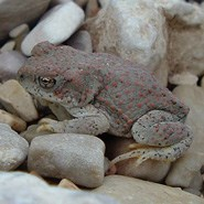 Red Spotted Toad