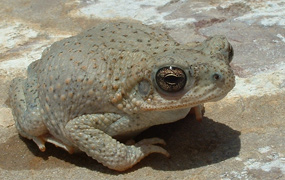 Red Spotted Toad, Amistad NRA