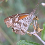 American Snout-nosed Butterfly