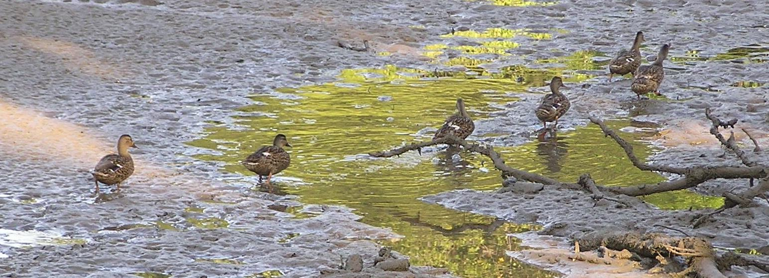A line of ducks crossing a mud flat