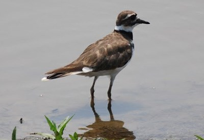 A killdeer stands in shallow water.
