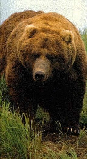 A picture of a large brown bear (grizzly bear) walking through the grass.