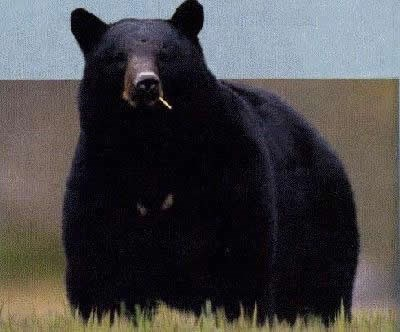 A very curious black bear standing in grasslands