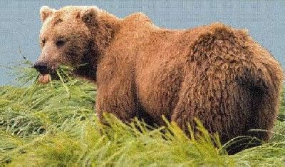 A brown bear (grizzly) standing in tall grasses by water.  Brown bears have dish shaped faces and a hump on their back.
