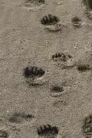 Fresh bear tracks in sand