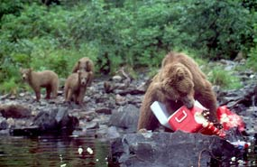 A female brown bear destroys a cooler carelessly unattended by humans while her yearling cubs look on.