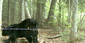 Black bear contributing her hair for DNA testing
