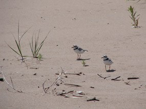 Long Island Piping Plovers