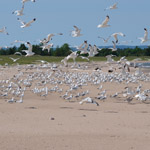 Gulls on Long Island
