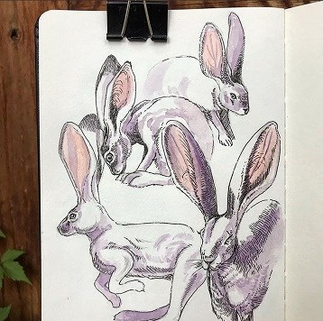watercolor illustration of jackrabbit in four poses