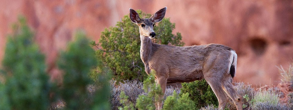 a mule deer stands among green plants