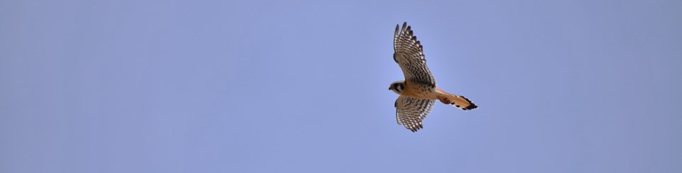a small flying bird of prey shows stripes under its wings