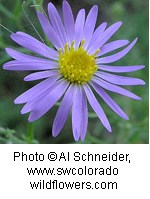 Asteraceae_Machaeranthera_canescens2