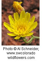 Asteraceae_Malacothrix_sonchoides2