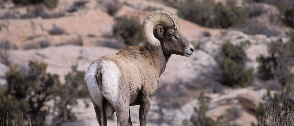 Ram Big Horn >> Bighorn Sheep - Arches National Park (U.S. National Park Service)
