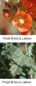 Leaves and flowers of the Small-leaf Globemallow