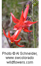 A red Scarlet Gilia flower