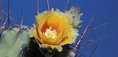 Prickly pear cactus (Opuntia polyacantha)