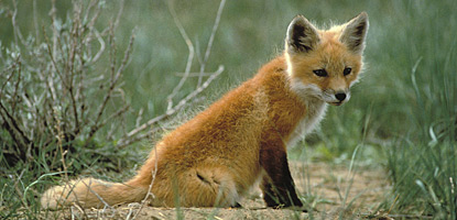 Though not uncommon, larger mammals like the red fox are rarely seen