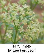 Galium multiflorum