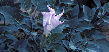 Datura (Datura wrightii) produces the largest flower in canyon country
