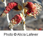 Red Fremont's Cottonwood flowers