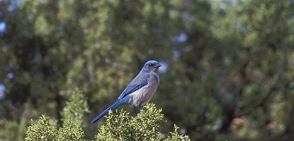 a blue bird perches at the top of a tree