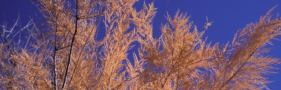 feathery brown leaves grow on a tamarisk