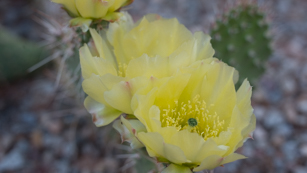 bright yellow flowers with cactus pads in the background