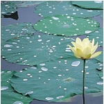 American Lotus and Lily Pads in Little Post Bayou