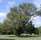 Largest Osage Orange tree in Arkansas