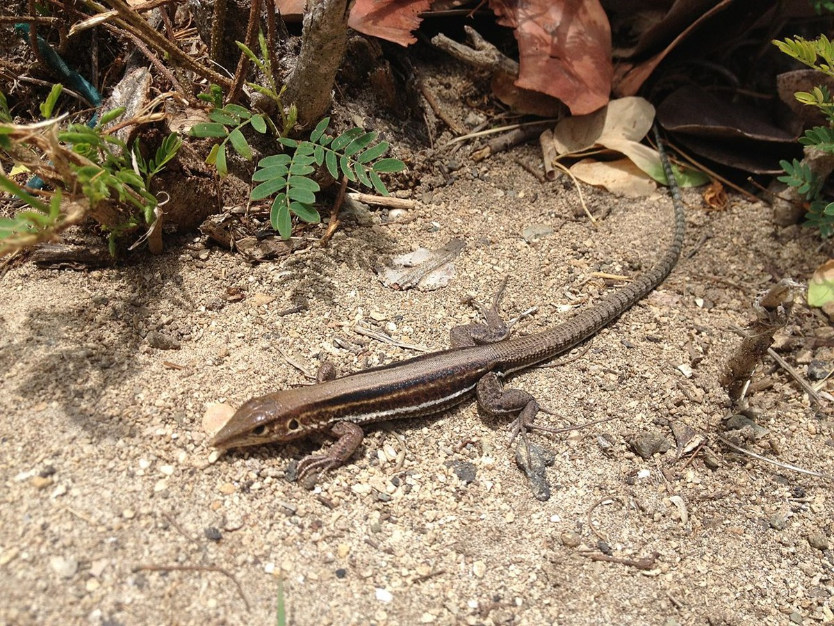 St. Croix ground lizard
