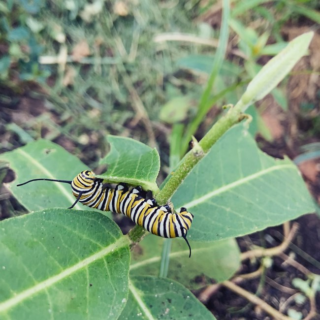 A black, yellow, and white-striped monarch caterpillar munches on a milkweed leaf.