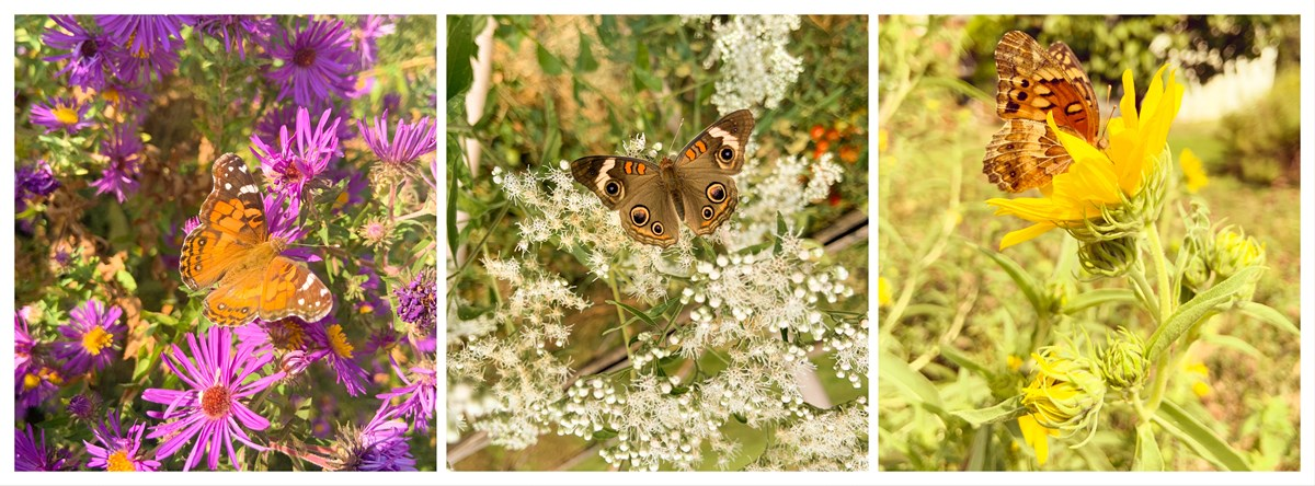 Three close ups of butterflies on native wildflowers, from left to right: American lady on New England aster; common buckeye on late boneset; variegated fritillary on maximilian sunflower