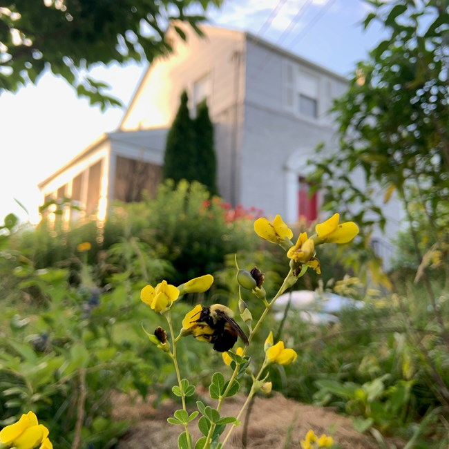 A yellow and black bumblebee (Bombus sp.) nectaring on yellow baptisia (Baptisia tinctoria) blossoms with other green plants and a gray house in the background