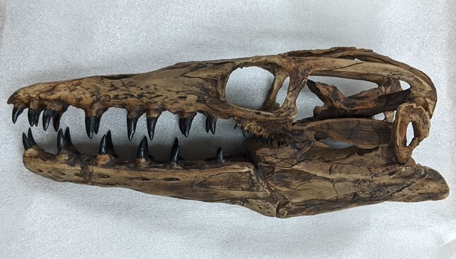 a long, dark brown skull with many sharp teeth sits on styrofoam