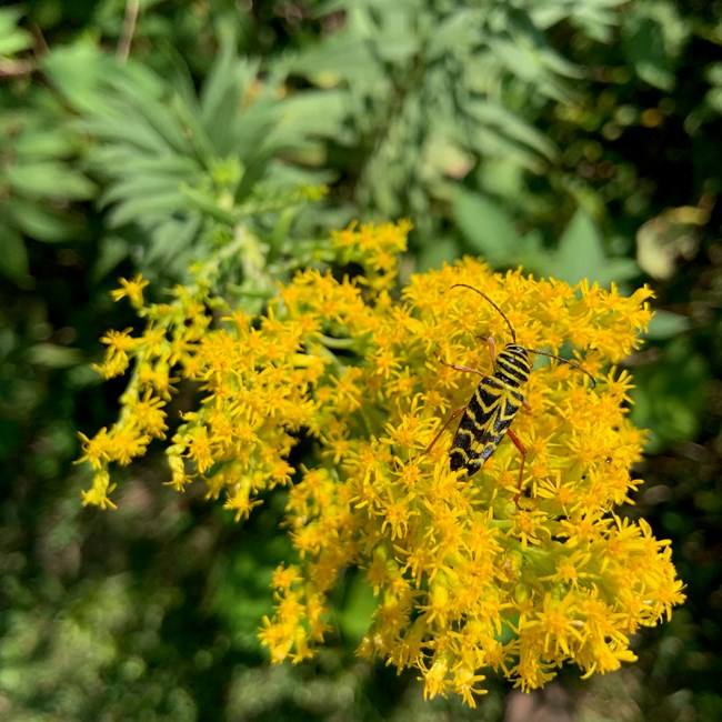 A black and yellow locust borer beetle (Megacyllene robiniae) nectaring on yellow goldenrod (Solidago sp.) blossoms