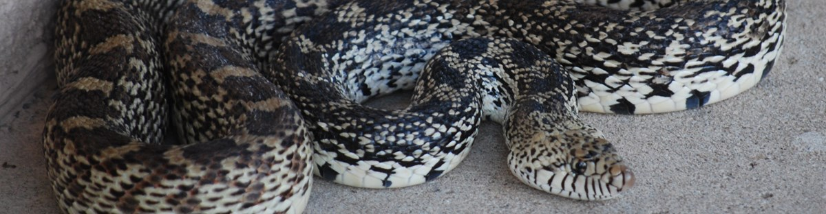 a bullsnake, with dark patterned scales, curls in on itself and sticks it head out
