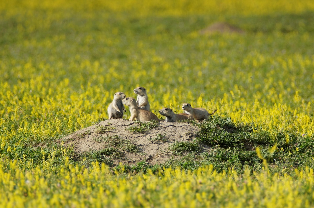 A family of prairie dogs is gathered on the mound outside their burrow.