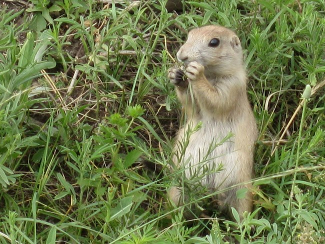 A prairie dog holds vegetation iclose to its mouth.