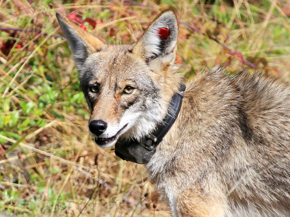 Portrait of an adult coyote looking at the camera and wearing a black radio collar