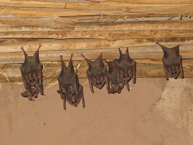 Six bats with big eyes hang upside down from a wood overhang