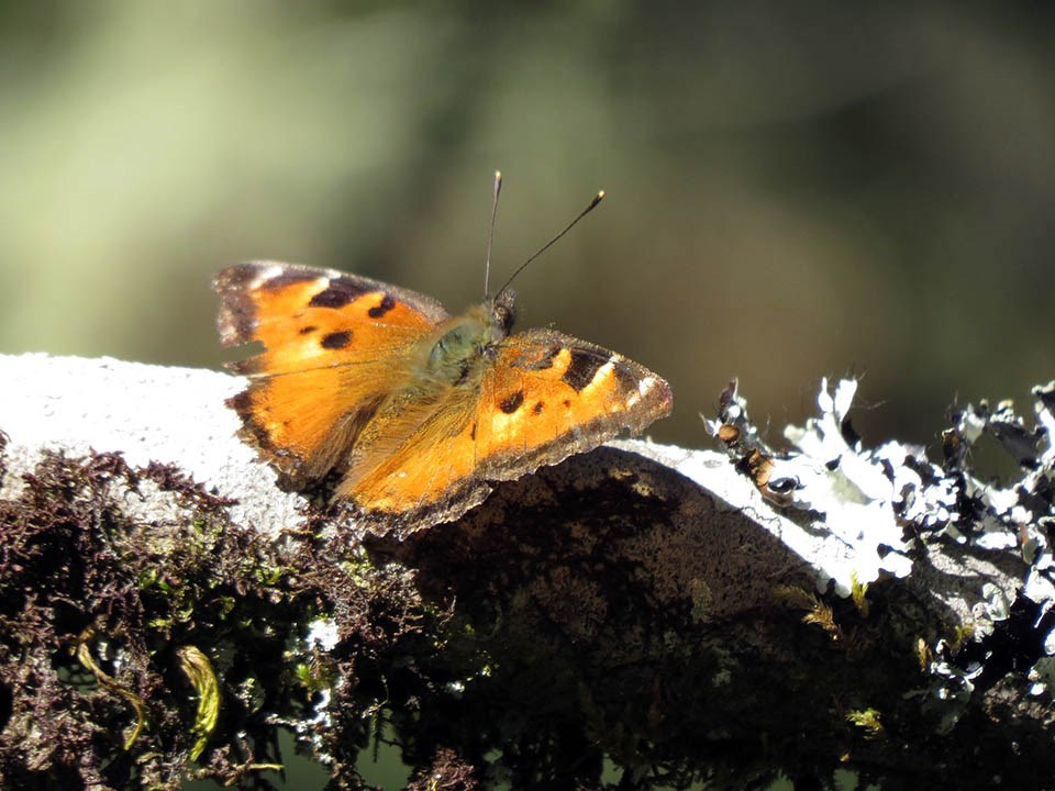 An orange and black California tortoiseshell butterfly with its wings open to the sun