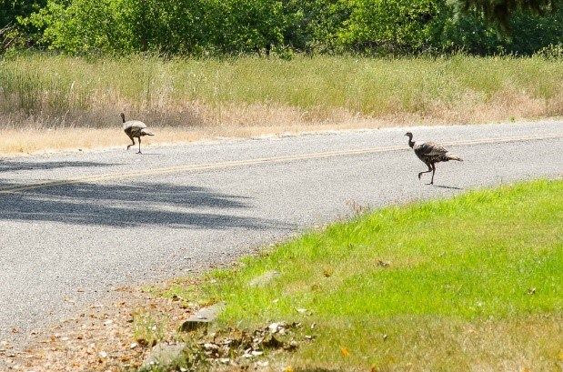 wild turkey on a road