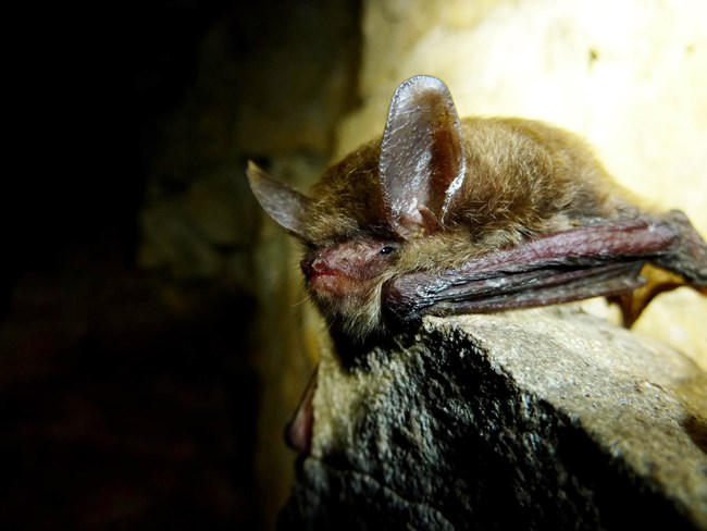 A close-up of a northern long-eared bats face.