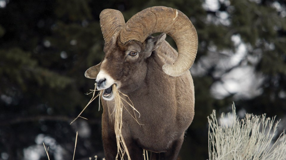 Close-up of a bighorn sheep ram with curled horns