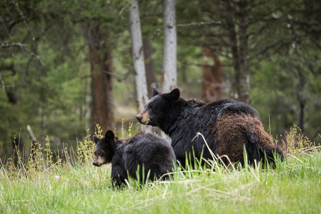 A black bear sow and her cub stand in a grassy field on the side of a hill in Yellowstone National Park.
