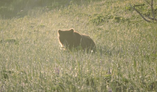 A small bear is illuminated in morning light