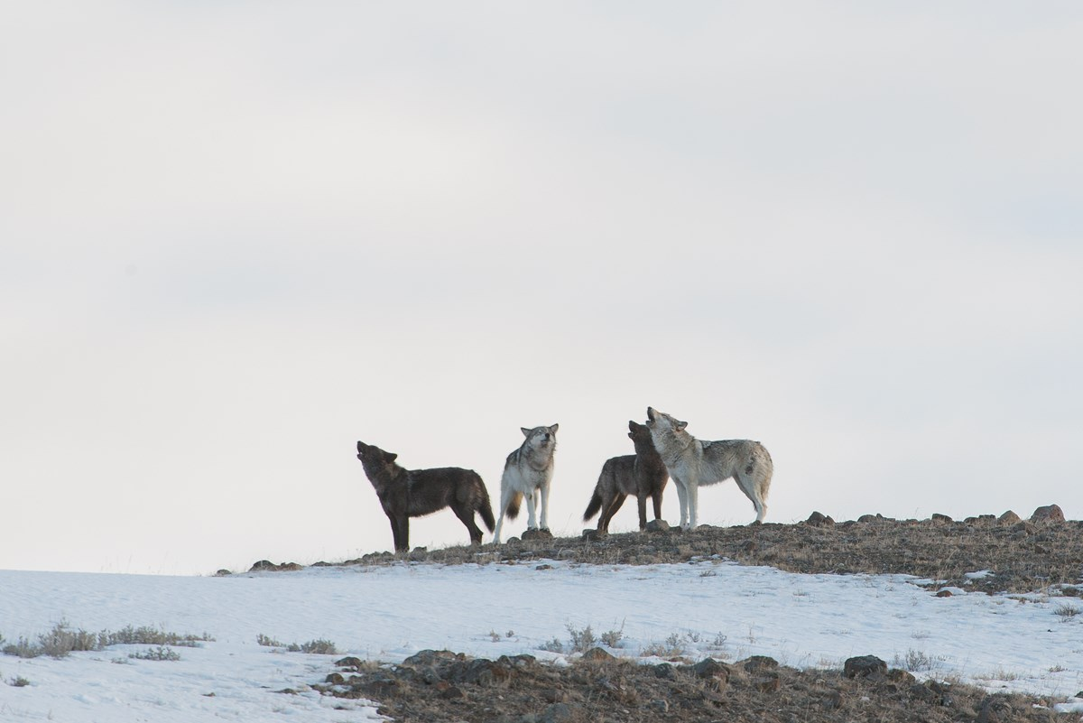 Wolves howling in the Lamar Valley