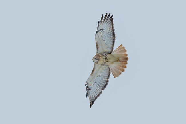 A hawk soaring, photographed from below; its underside is mostly white, but its fanned-out tail is noticeably rust-colored